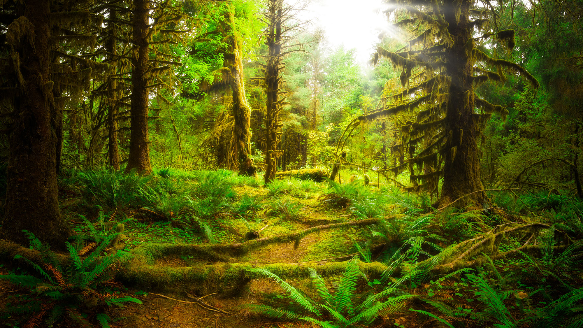 hoh rain forest in summer